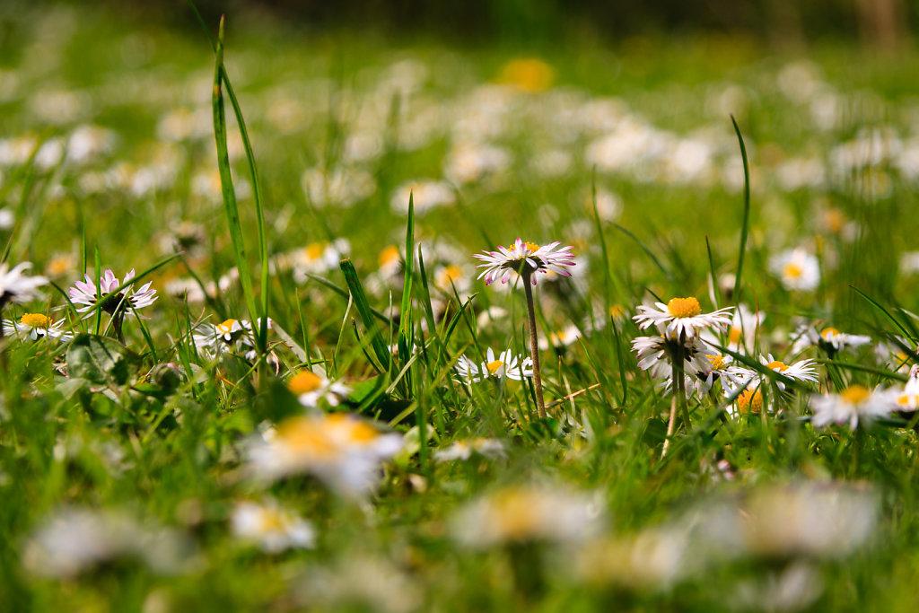 Gänseblümchen in Wiese